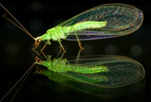 Lacewing Eggs On Sale for Gardens | Insectkits.com